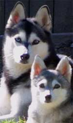 The ALASKAN KLEE KAI is a rare breed that resembles a miniature Husky ...